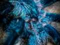 Avicularia azuraklaasi 6