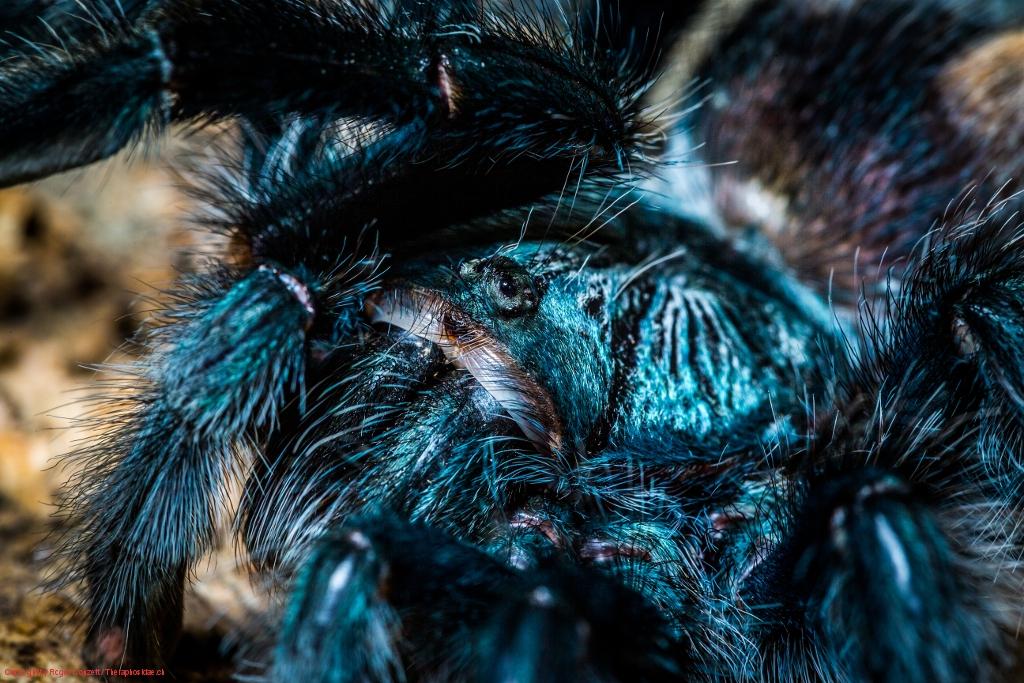 Avicularia geroldi 12