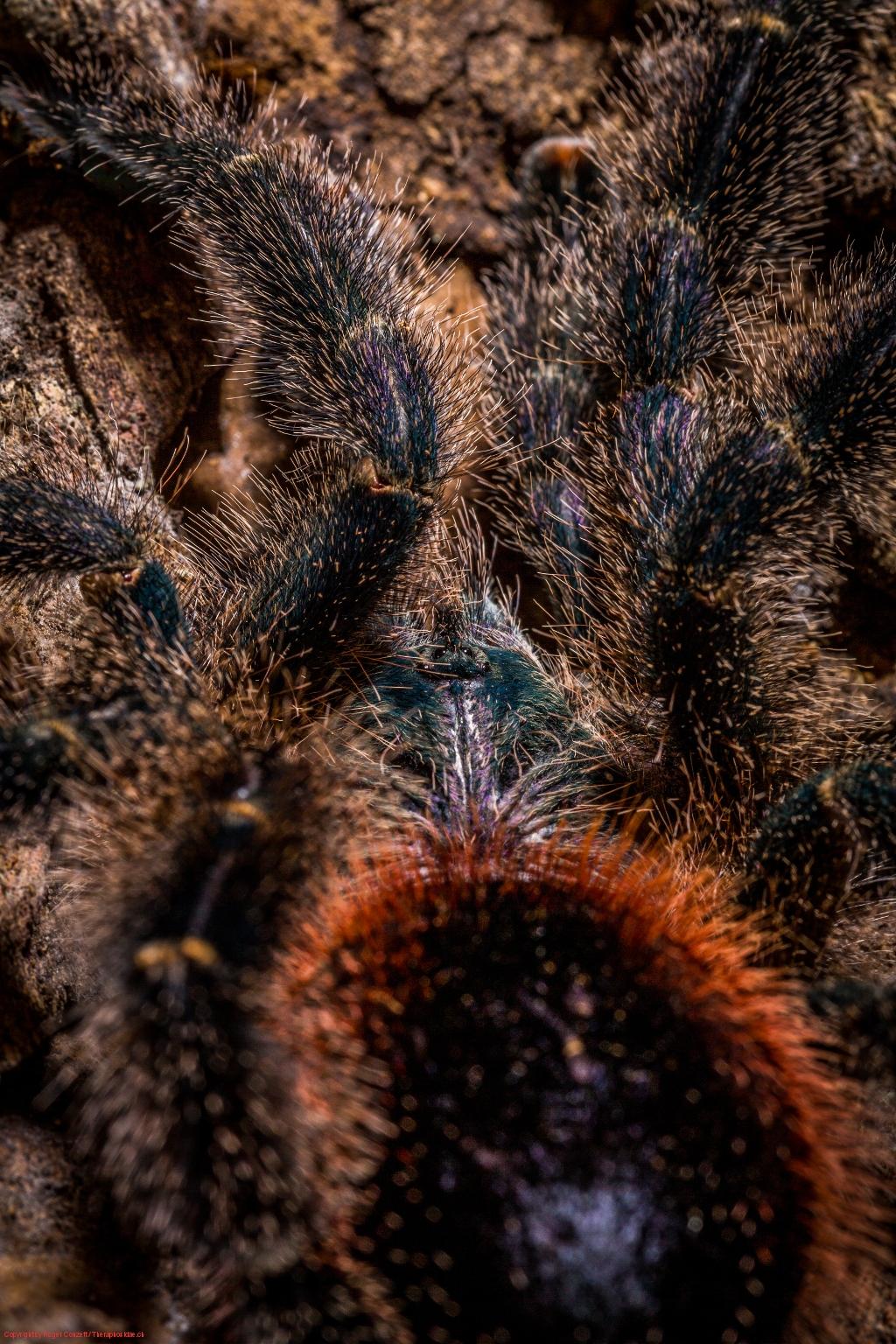 Avicularia huriana