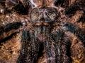 Avicularia metallica 8