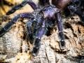 Avicularia purpurea 5