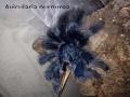 Avicularia_ purpurea_01