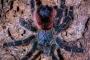 Avicularia spec. amazonica 2