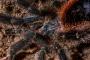 Avicularia spec. amazonica 5
