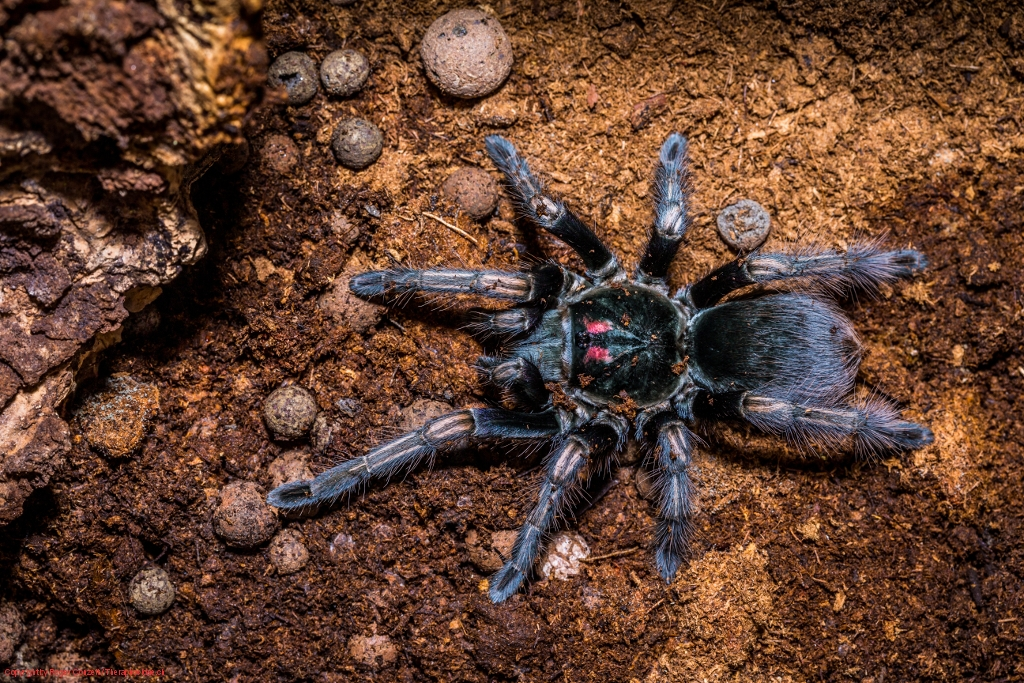 Pamphobeteus ultramarinus 2