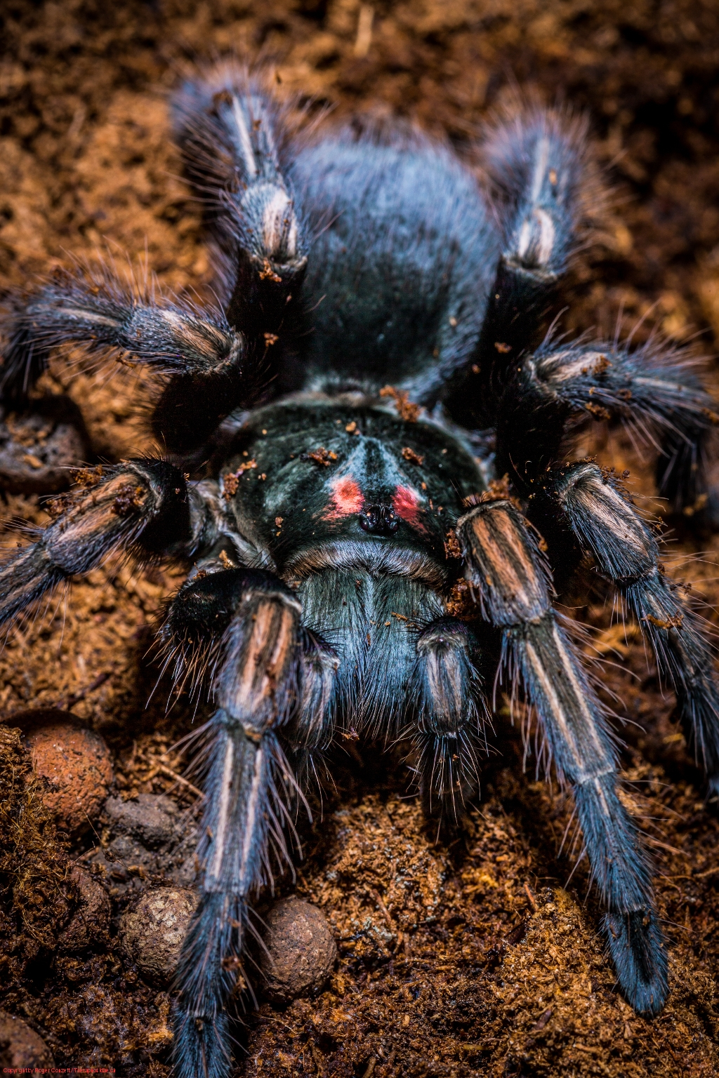 Pamphobeteus ultramarinus 6